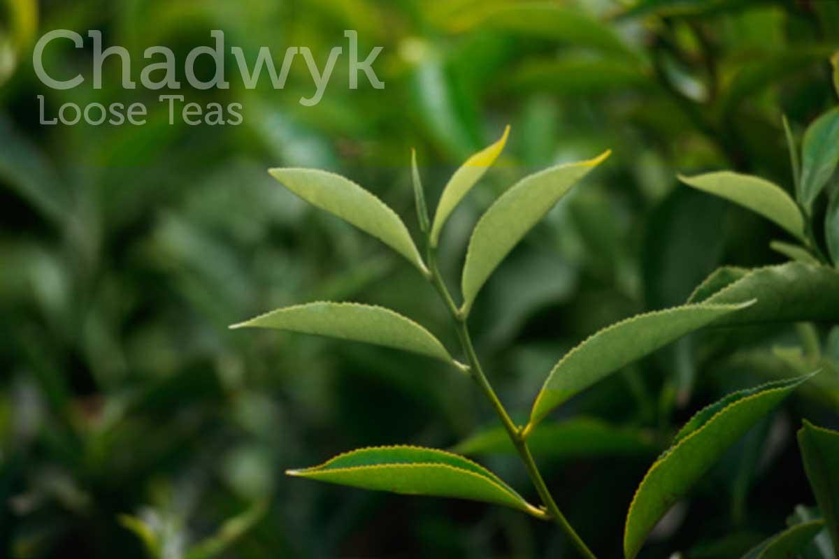 Chadwyk Loose Teas
